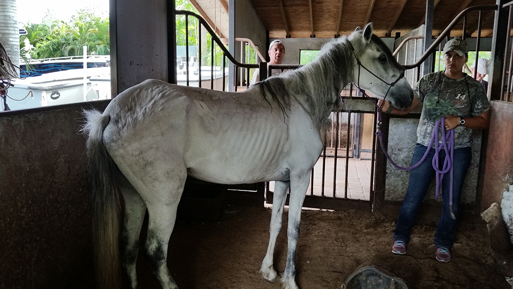 THREE EMACIATED HORSES SEIZED IN ANIMAL CRUELTY CASE