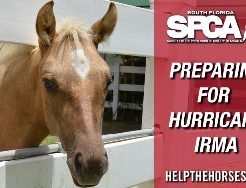 South Florida SPCA Bracing for Hurricane Irma with 55 Horses