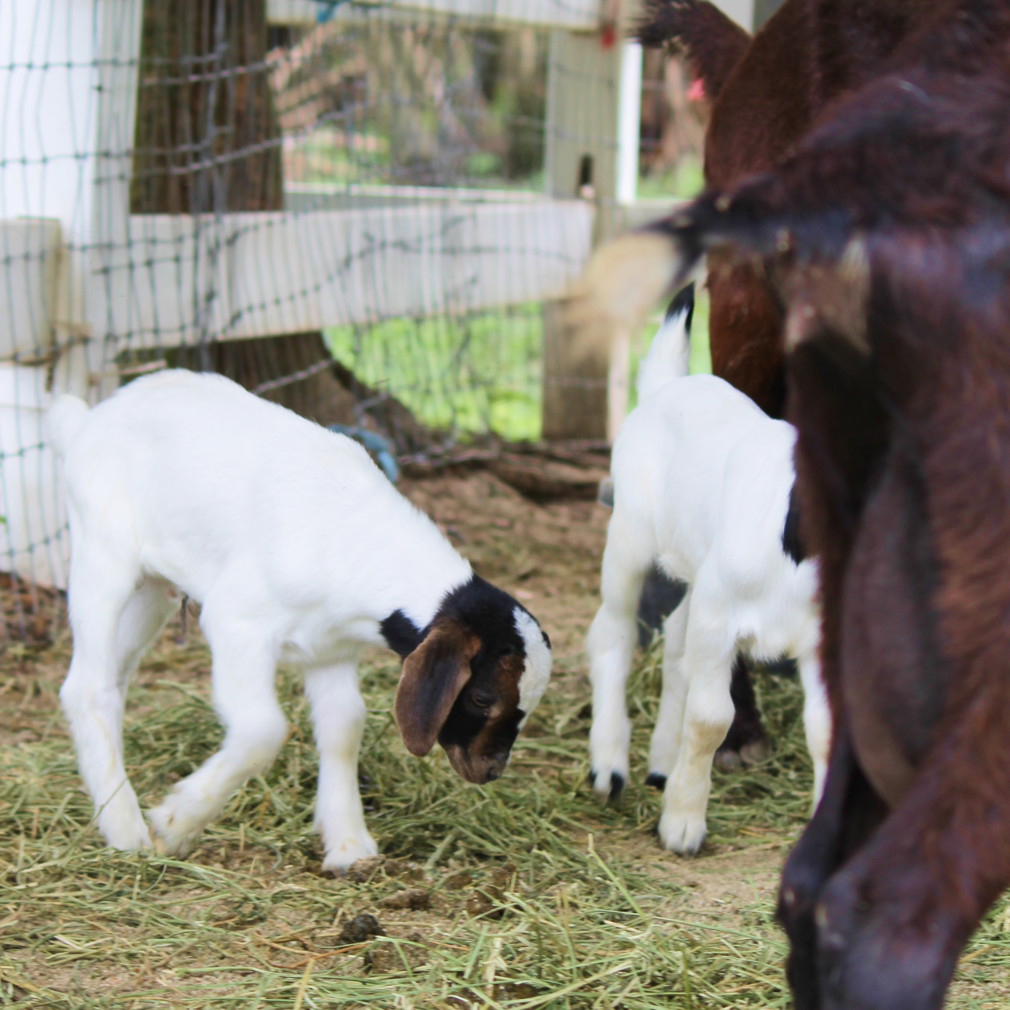 South Florida Society for the Prevention of Cruelty to Animals - Rescue Baby Goat