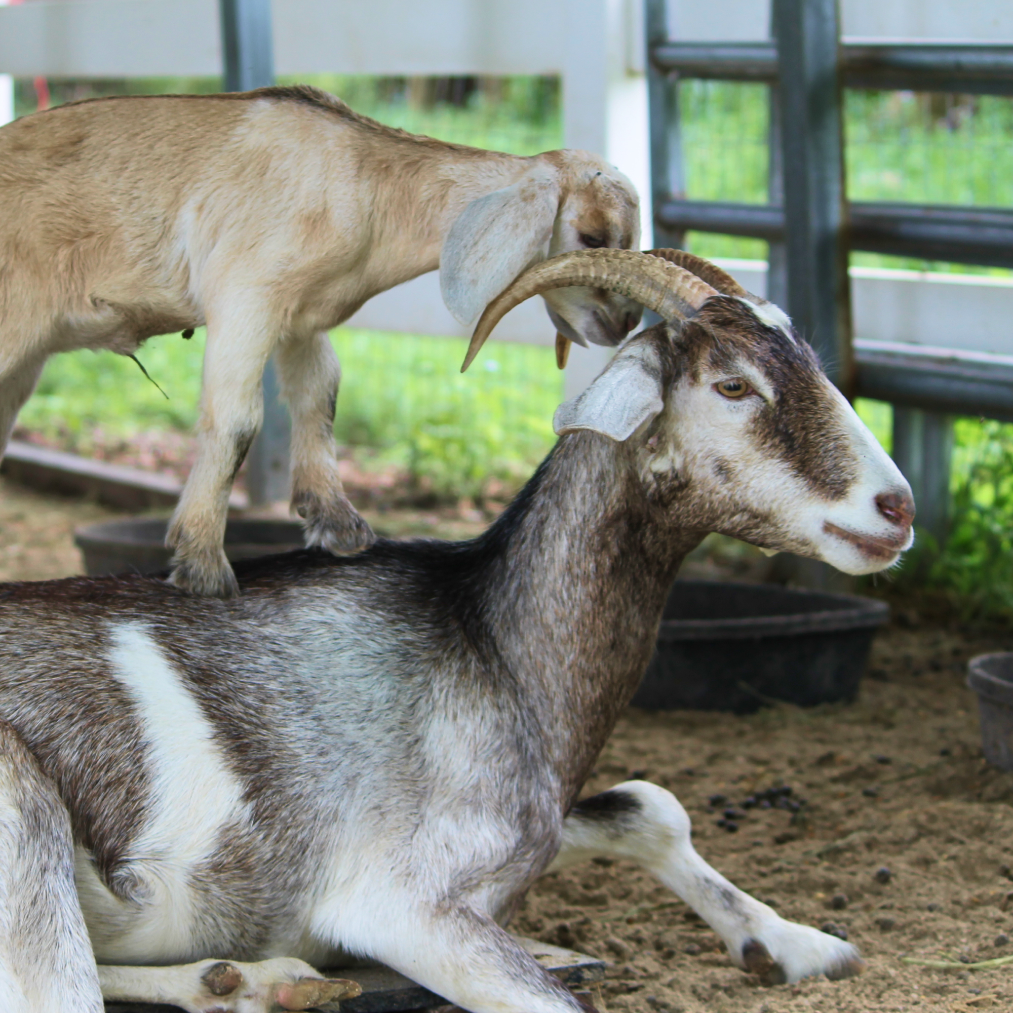South Florida Society for the Prevention of Cruelty to Animals - Saving goats and their babies