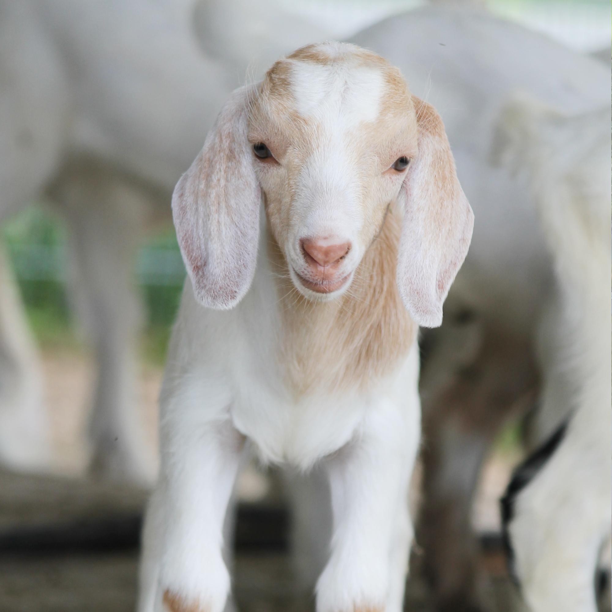 SPCA Operation Baby Goat