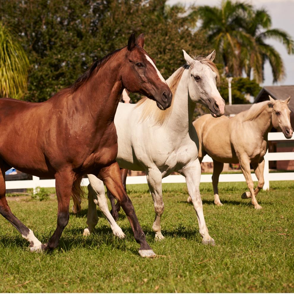 brown Cream White Horses