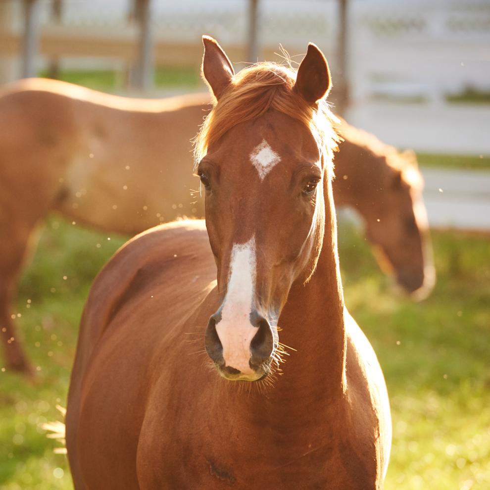 brown Diamond Horse