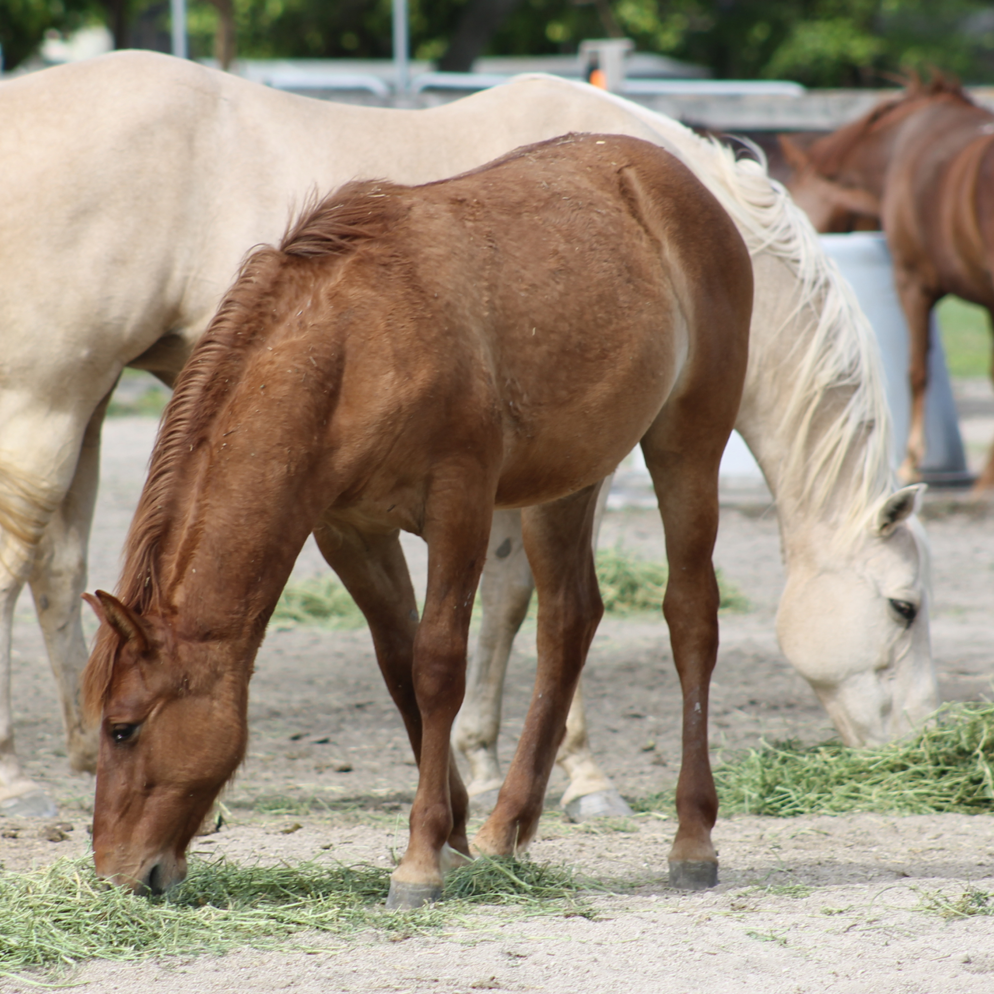 SFSPCA works tirelessly for abused horses and livestock