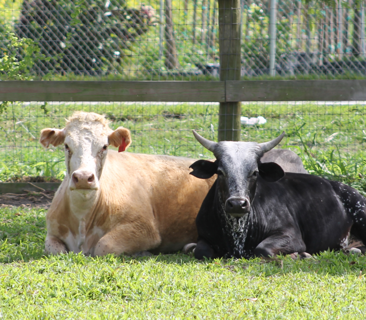 SFSPCA rescues livestock like these cows, everyday
