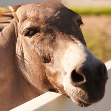 donkey Face Over Fence