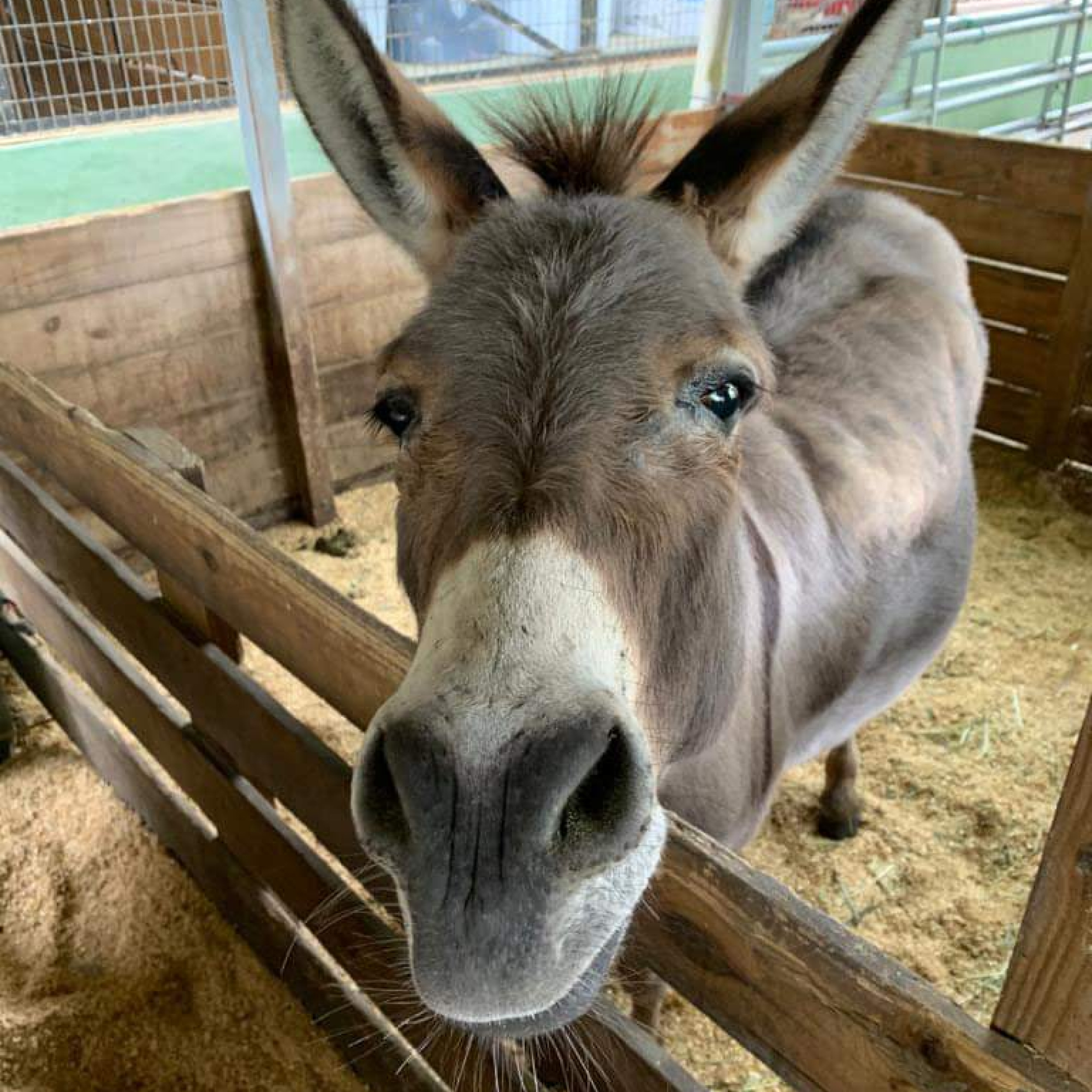 South Florida Society for the Prevention of Cruelty to Animals - Donkey over fence