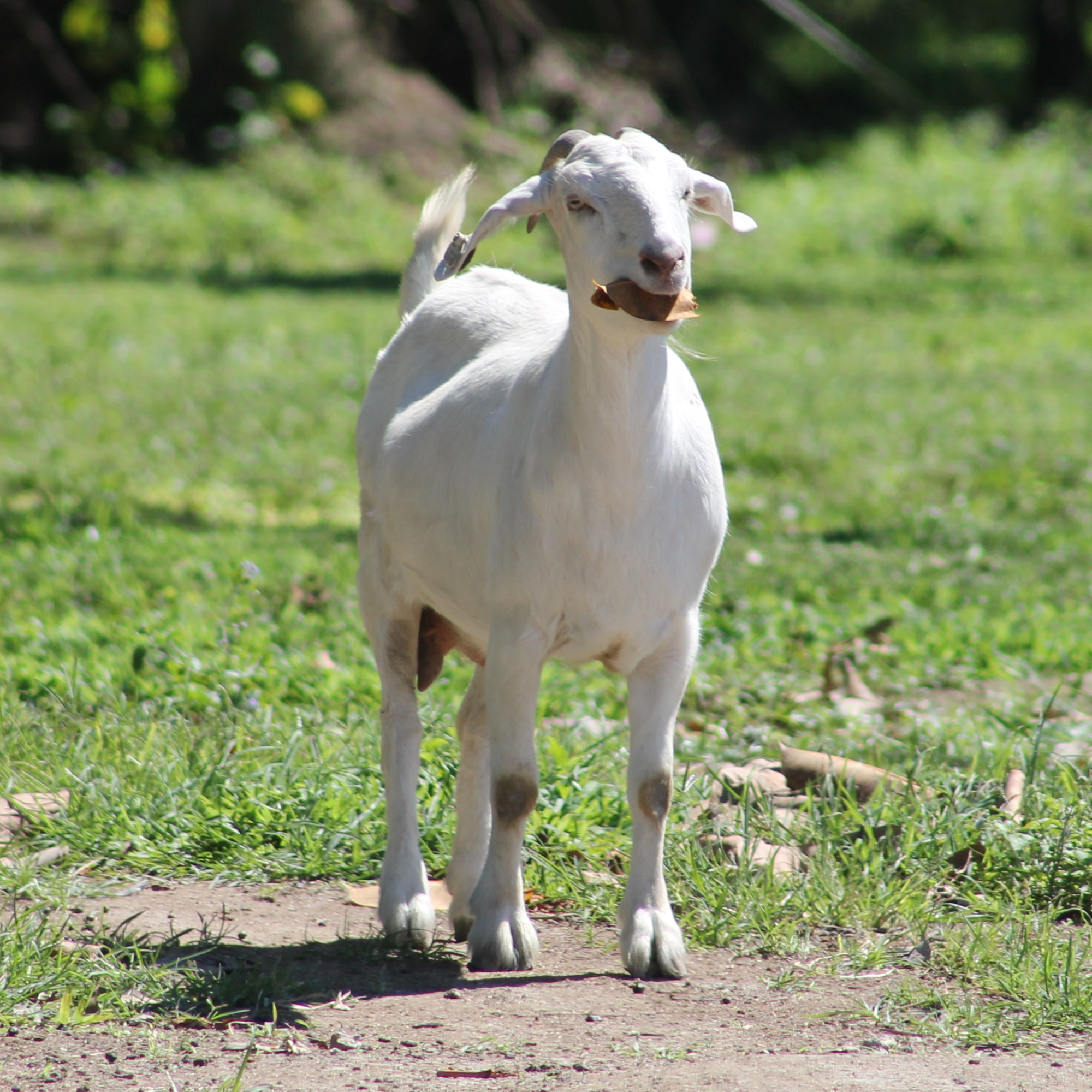 South Florida Society for the Prevention of Cruelty to Animals save livestock everyday
