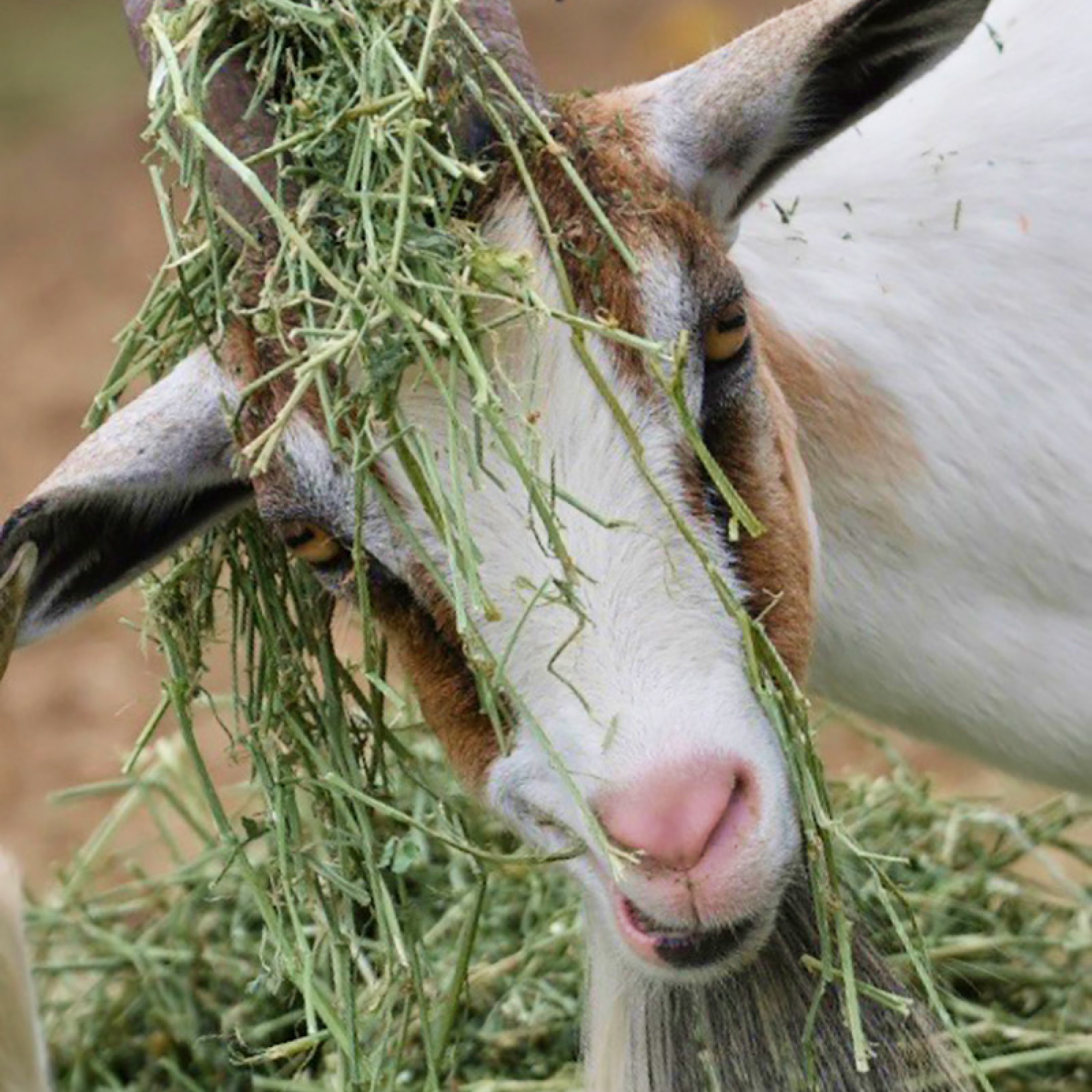 South Florida Society for the Prevention of Cruelty to Animals rescues goats, sheep and cows