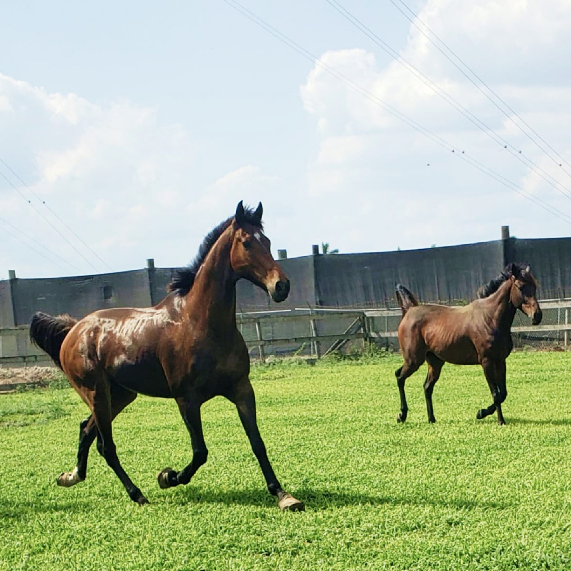 Horses galloping free at the South Florida Society for the Prevention of Cruelty to Animals
