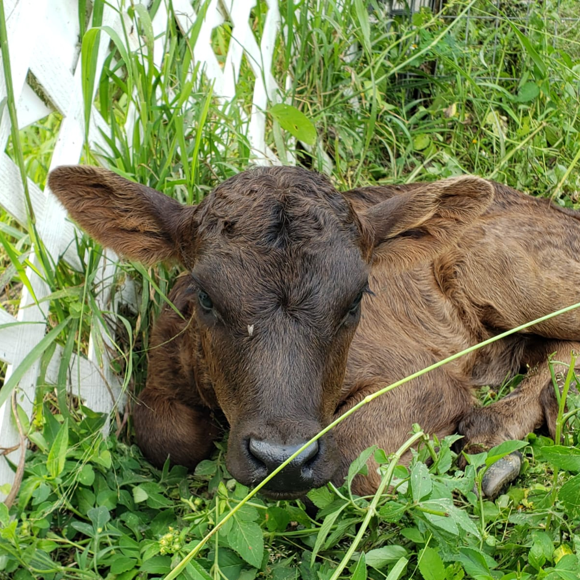 Adopt a Cow at the South Florida Society for the Prevention of Cruelty to Animals