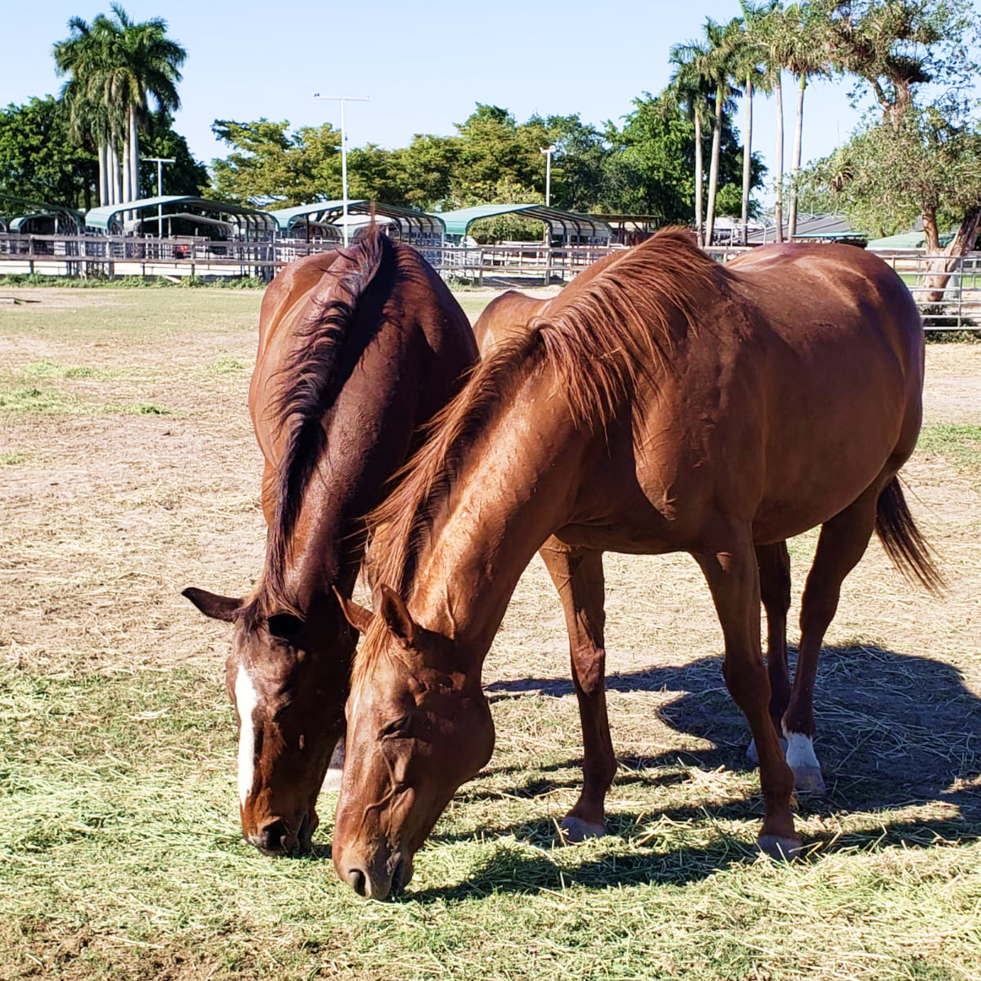 Horses Rehabilitate together at the South Florida Society for the Prevention of Cruelty to Animals