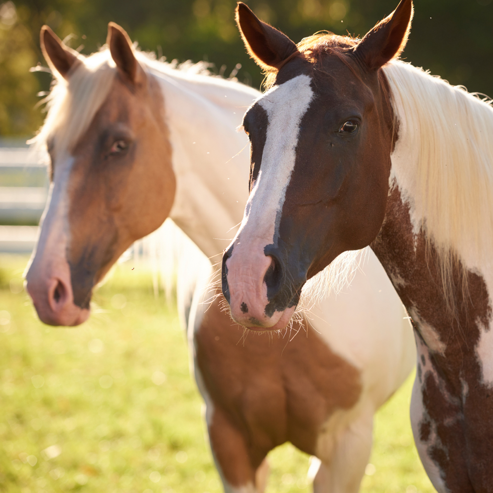 spotted Brown Cream Horses
