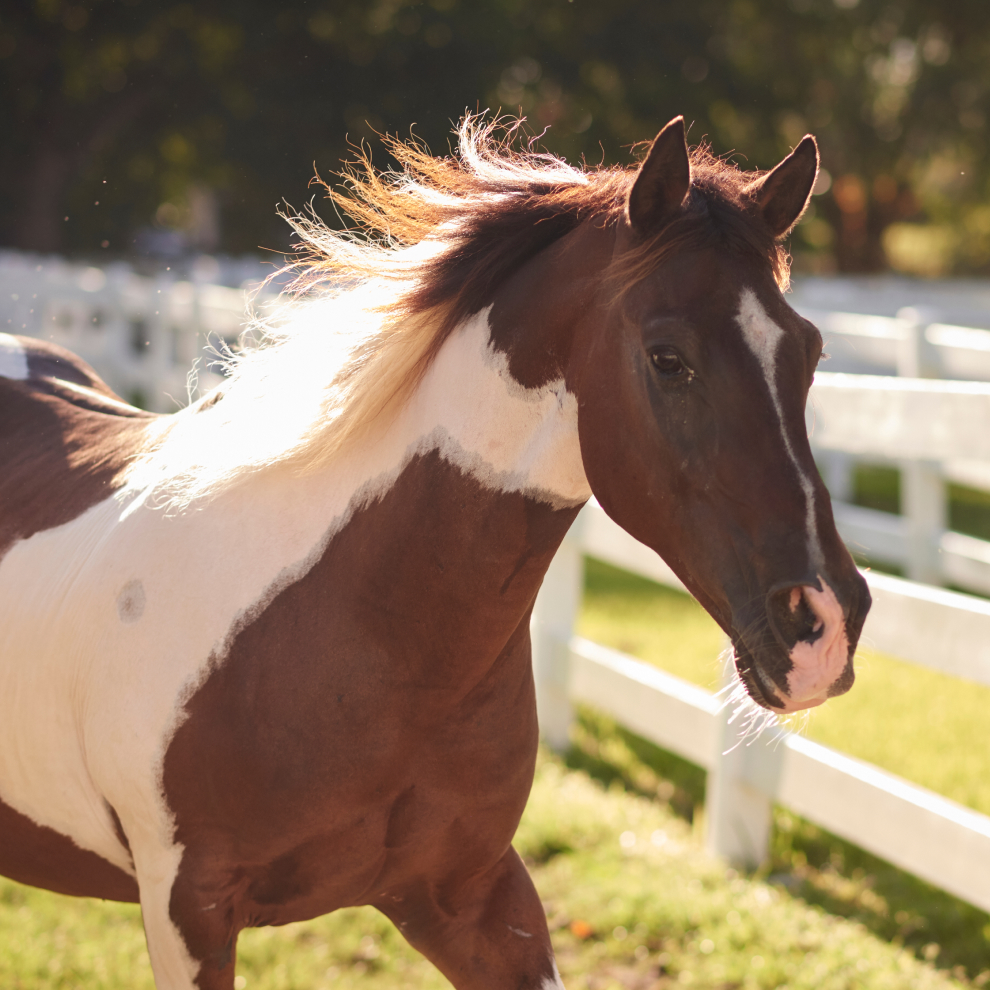 spotted Brown White Horse