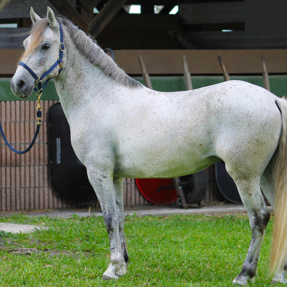 Pepper Gelding Pony