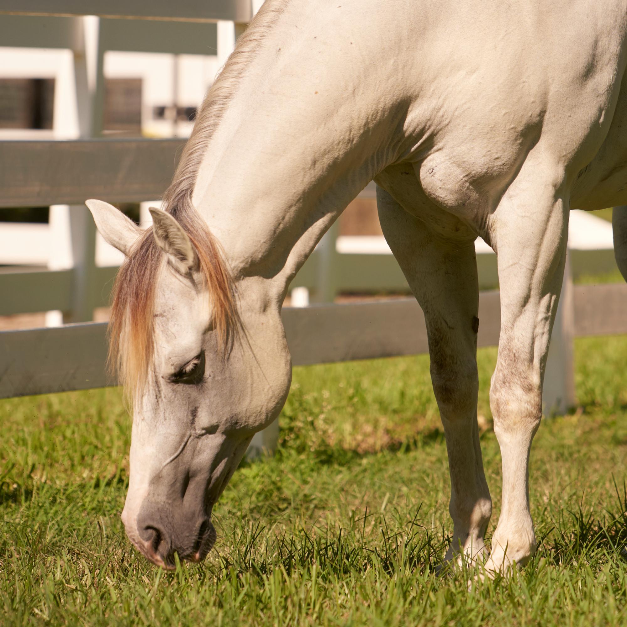 White Horse Eating